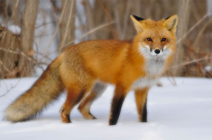 Free Fox mp3 Downloads - Average Hunter