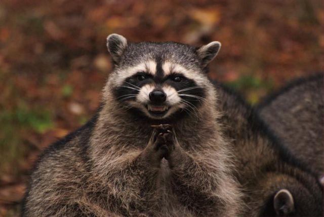 Raccoon Sounds ~ AverageHunter com