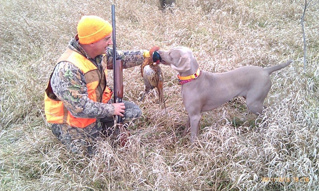 upland pheasant hunting