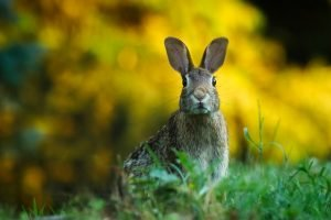 rabbit sounds cottontail