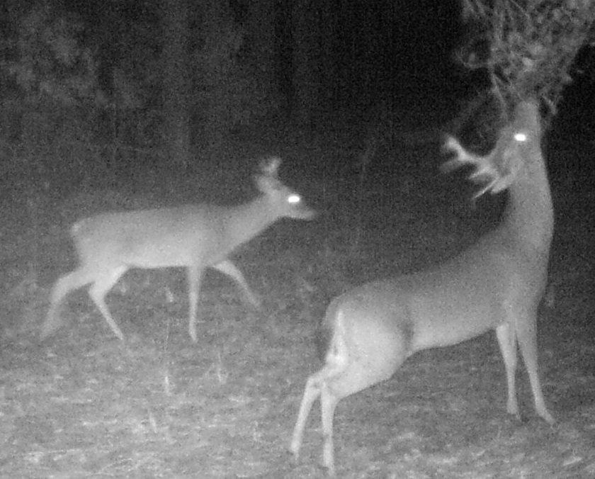 Licking Branch Whitetail Deer