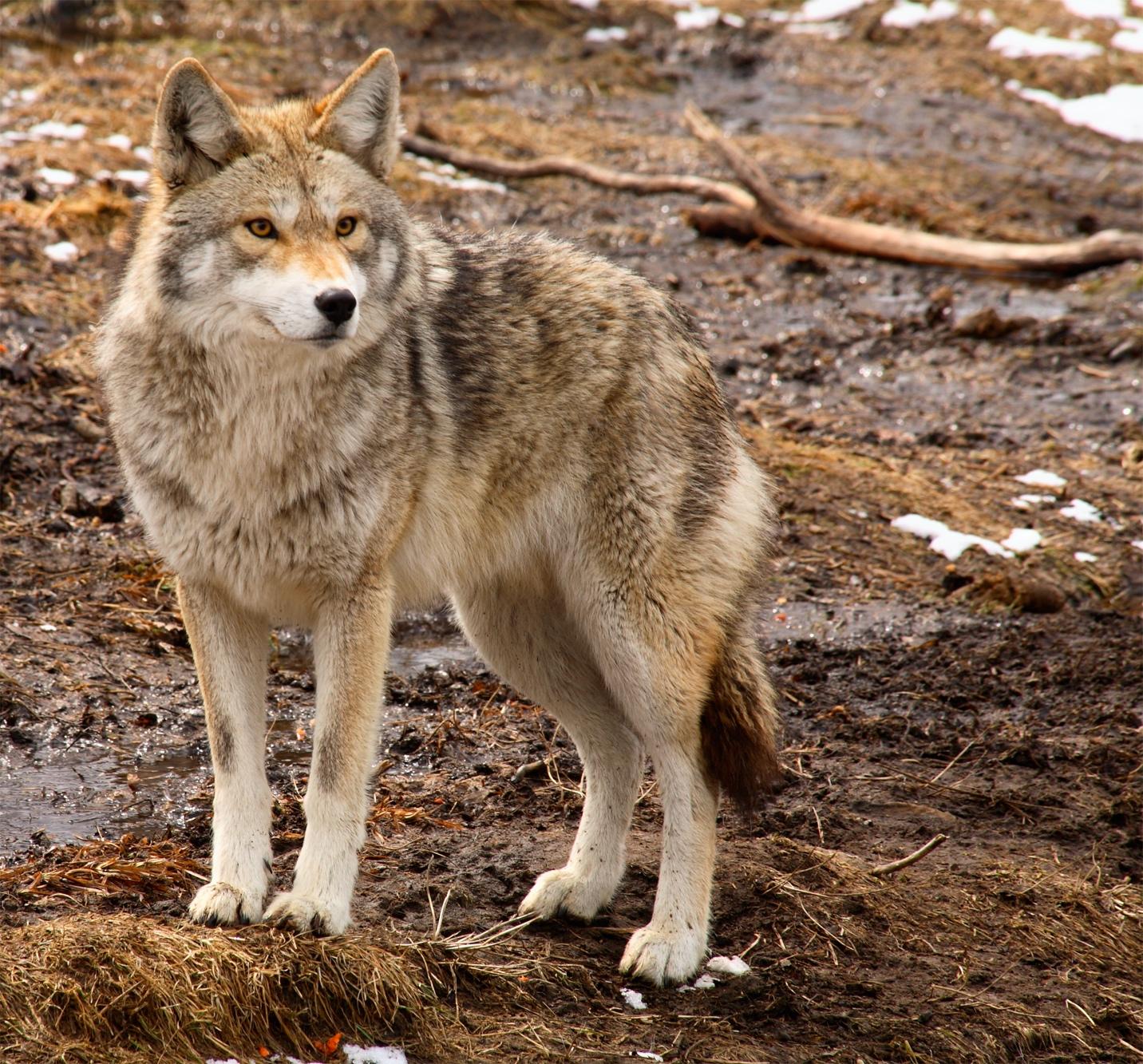 Coyote whitetail deer predator, factor in how long do deer live