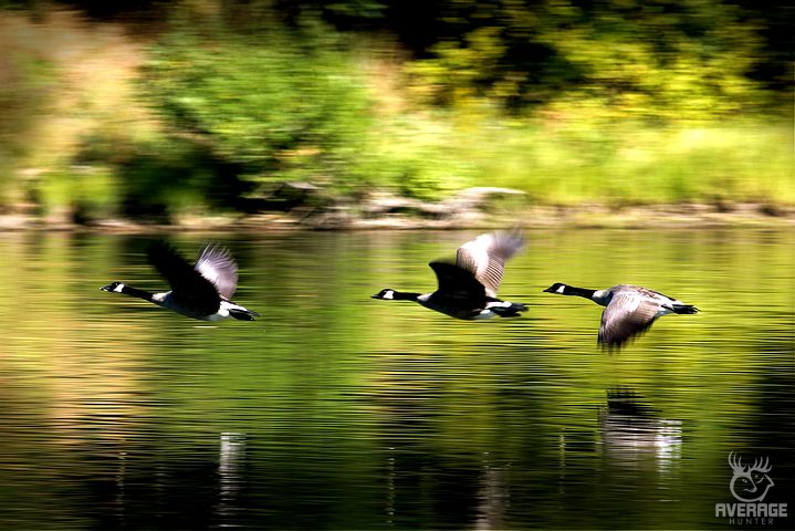 Duck Hunting Tips geese flying